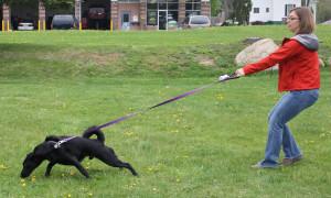 dogpulling